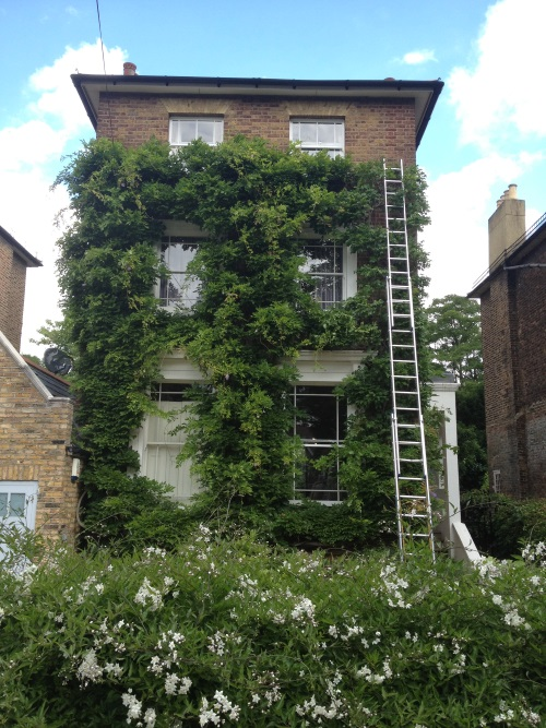 We can trim and train ivy