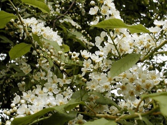 bird cherry prunus padus seeds