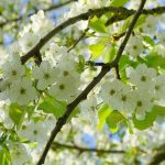 Bird Cherry Tree - Prunus Padus