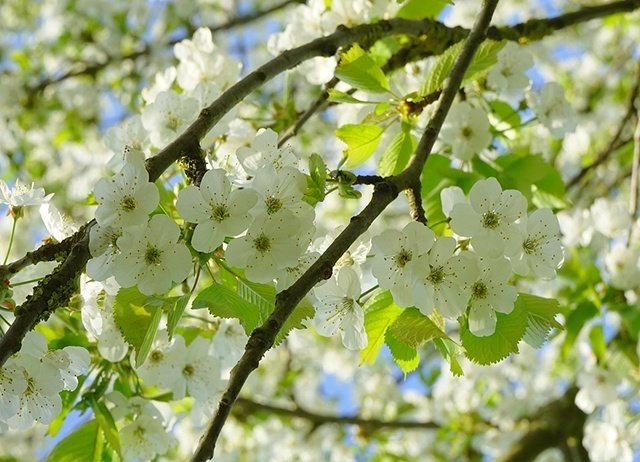 bird-cherry-tree