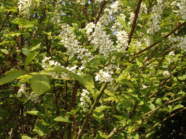 bird_cherry_flowers