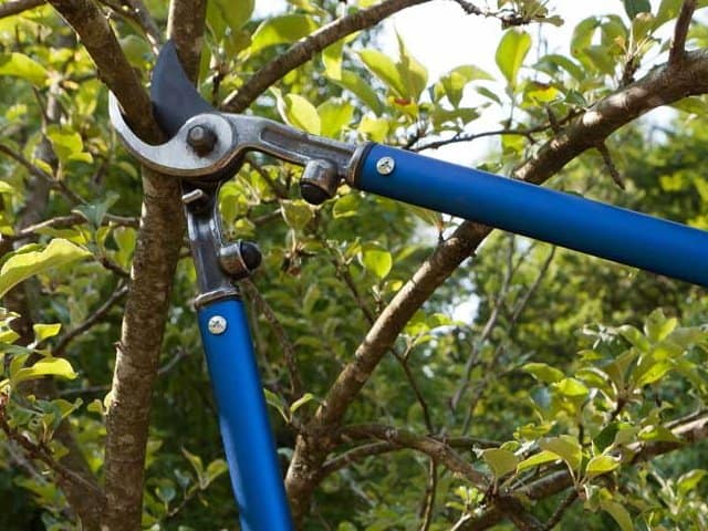 cherry tree pruning