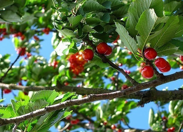 grow-cherry-tree
