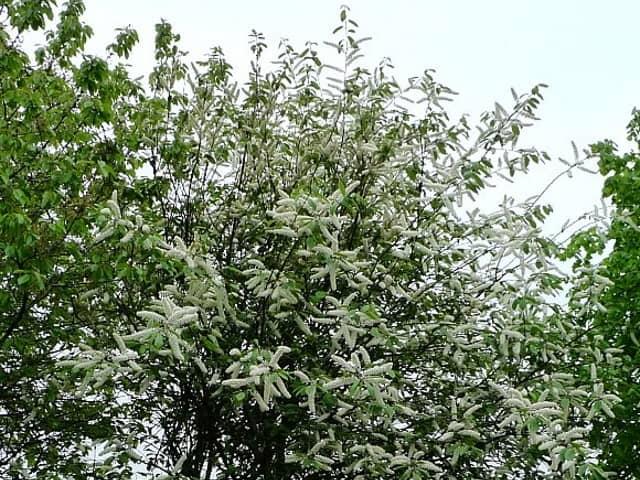 image of bird cherry tree
