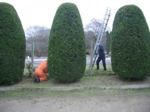hedge-trimming-2