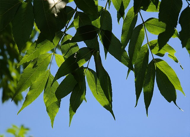 COMMON-ASH-Fraxinus-Excelsior