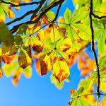 Horse Chestnut Tree - Aesculus Hippocastanum
