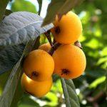 Loquat Tree - Eriobotya Japonica