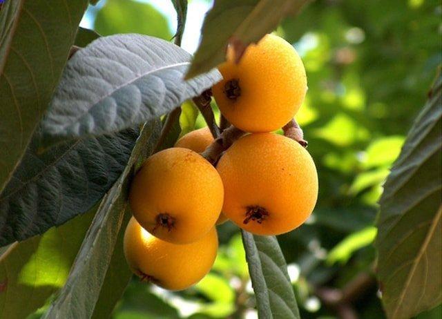 loquar tree eriobotya japonica