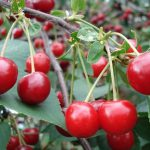 Sargent's Cherry Tree - Prunus Sargentii