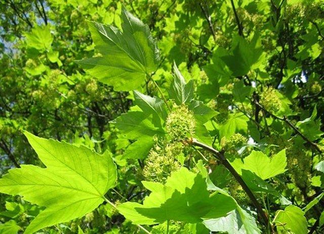 sycamore tree acer pseudoplatanus