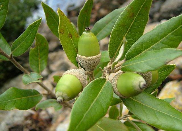 Holm Oak - Quercus Ilex | GraftinGardeners