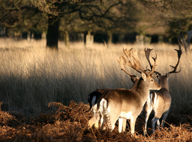 Two_deer_at_Richmond_Park