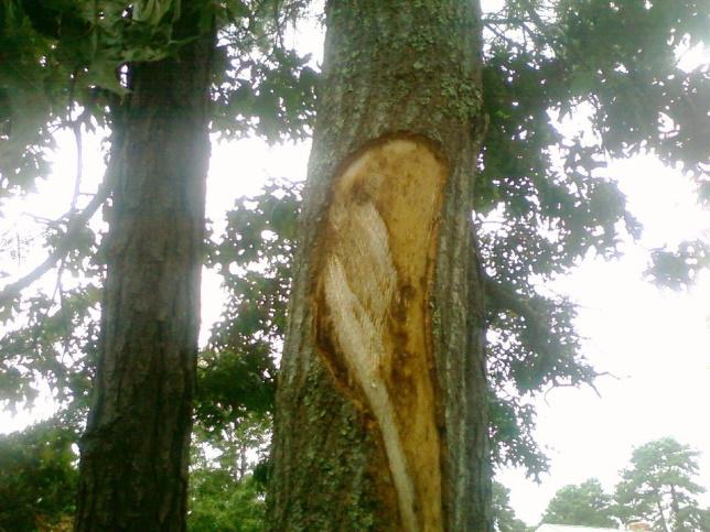 Bark Tearing Pruning Cuts