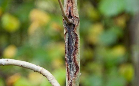 Typical lesions caused by Ash Dieback