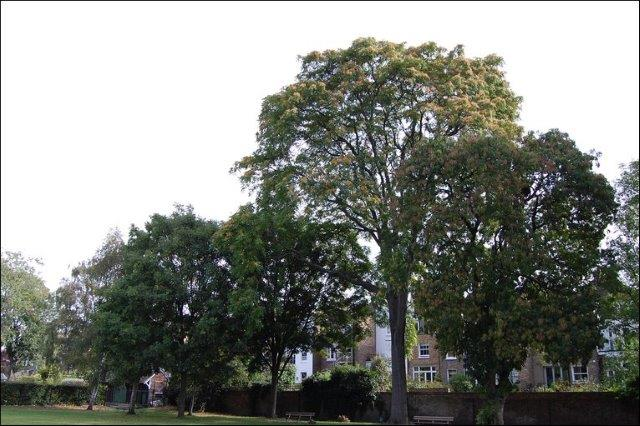 Tree-of-Heaven-Ravenscourt-Park