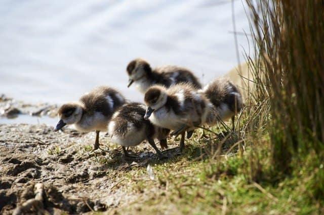 richmond park ducklings