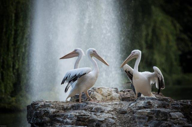 Pelicans on Pelican Rock