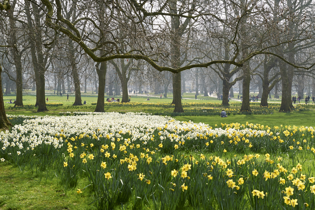 6_Daffodils in The Green Park