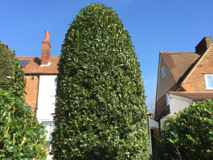 Hedge Trimming in Sutton