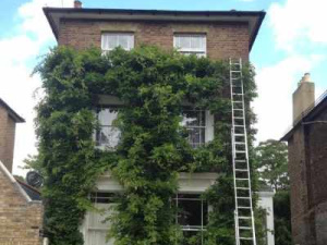 Ivy Removal in Oval