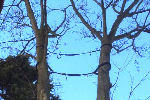 Tree Cable Bracing London 2