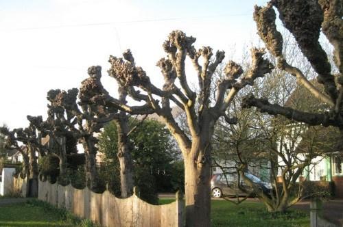 Tree Pollarding Service