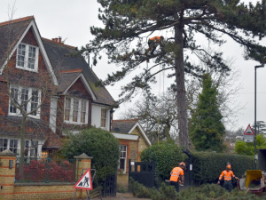 Tree Pruning in Raynes Park