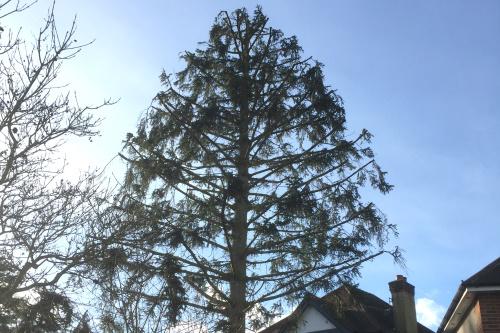 Tree Reducing London