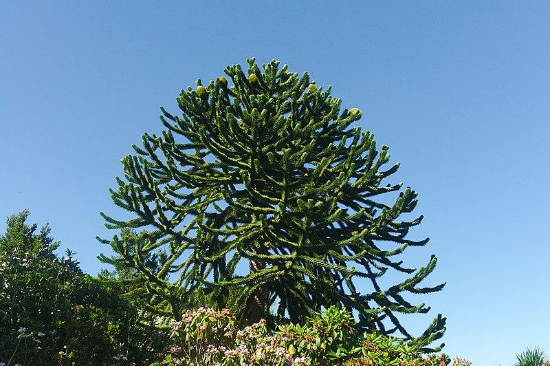 Monkey Puzzle Tree - Araucaria Araucana