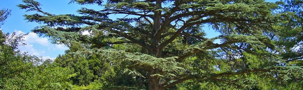 Cedar Tree - Cedrus libani