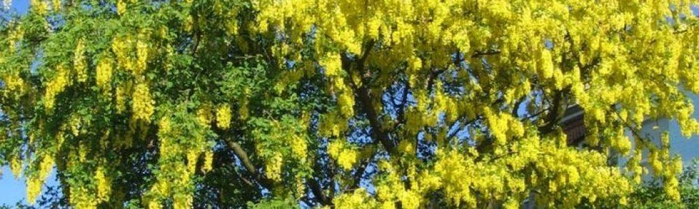 Laburnum Tree - Anagyroides