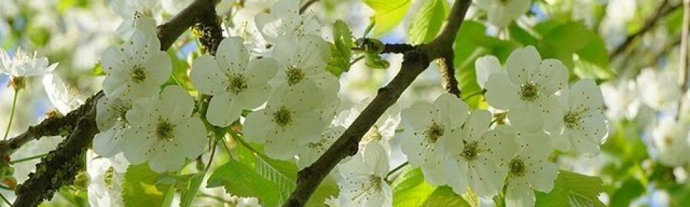 bird-cherry-tree