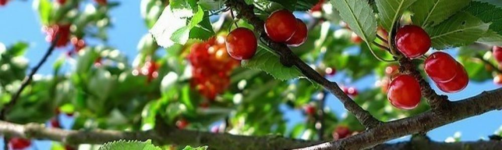 grow-cherry-tree
