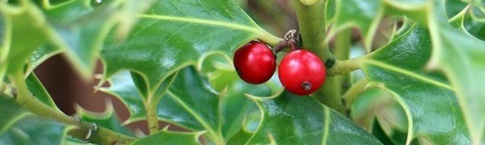 holly-tree